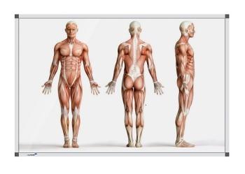 Legamaster 7-101174 Premium Board Human Anatomy - Standing - 120 x 180 cm
